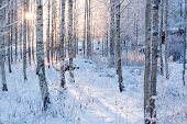 pic of birchwood  - Snowy birch forest at winter and warm sun light - JPG