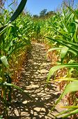 path in a cornfield