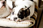 stock photo of unawares  - Black and white French bulldog in the sofa - JPG