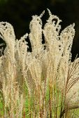 American Pampas Grass