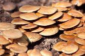 Nameko Mushrooms In The Farm