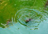 Crocodile Farm In Phuket, Thailand. Dangerous Alligator In Wildlife