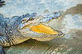 Dangerous Crocodile Open Mouth In Farm In Phuket, Thailand. Alligator In Wildlife