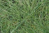 Mown Grass