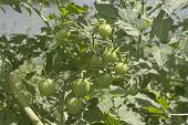 Green Tomato Garden