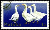 Vintage  Postage Stamp. White Geese.