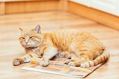 stock photo of orange kitten  - Peaceful Orange Red Tabby Cat Male Kitten Curled Up Lying In His Bed On Laminate Floor - JPG