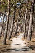 Pine Trees Growing On The Coast Of The Baltic Sea