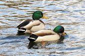 Two Mallard Ducks In Blue Water