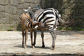 Selous' zebra (Equus quagga selousi) feeding its calf