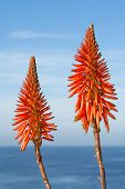 Bright orange Aloe Vera cactus blooms framed against a beautiful blue sky and ocean during a bright, sunny day