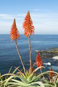 Beautiful Aloe Vera cactus plants and their bright orange blooms line the vibrant coastline in Laguna Beach, California during a bright, sunny day