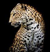 Side Of Leopard