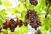 fresh Grape wait for harvest Grape Farm Tak ,Thailand