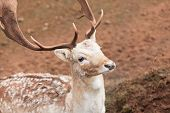 Fallow Deer Buck At Park
