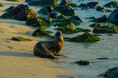 sea lion on the beach in galapagos islands