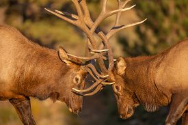 image of domination  - a pair of bull elk fight for dominance in the rut - JPG
