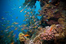 stock photo of sweeper  - Shoal of Glassfish  - JPG