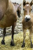 picture of mare foal  - A brown mare with her foal - JPG