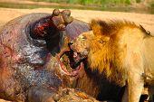 stock photo of kill  - Lion Feeding on his kill for the day - JPG
