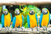 picture of green-winged macaw  - Blue macaws sitting on log with black background - JPG