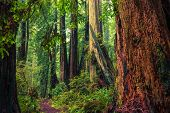 image of redwood forest  - California Redwood Trail - JPG