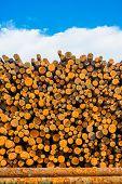 picture of lumber  - Fresh Pine Timber Stacked at Lumber Yard - JPG