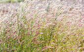 picture of fountain grass  - Close up fountain grass against sunlight in field - JPG