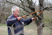 pic of prunes  - Senior man pruning tree in orchard active retirement selective focus on face - JPG