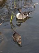 foto of duck-hunting  - Two beautiful wild brown ducks swimming in the pond and the green sedge grows vertically - JPG