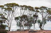 foto of slender  - Line of slender gumtrees against overcast sky on rocky ridgeline - JPG