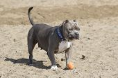 picture of pitbull  - A pitbull at the beach with a funny look on her face  - JPG
