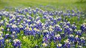 image of bluebonnets  - Texas bluebonnets  - JPG