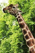 foto of kiev  - Giraffe eating green leaves on the tree in Kiev zoo Ukraine - JPG