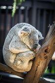 image of koalas  - Dozing koala bear sleeps quietly in the shade of a tree - JPG