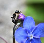 picture of ant  - Black ant climbing in garden blue flower - JPG