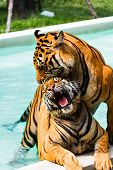 stock photo of tigress  - Indochinese tigers mating in pool - JPG