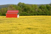 picture of red barn  - a red metal barn in a field of yellow buttercups - JPG