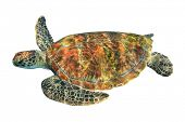 pic of green turtle  - Green Sea Turtle  - JPG