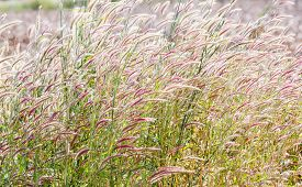 image of fountain grass  - Close up fountain grass against sunlight in field - JPG