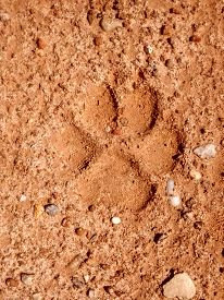 image of coyote  - Coyote track print in red clay sand - JPG