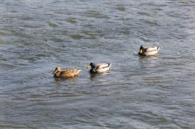 picture of male mallard  - Two Male and One Female Mallard Ducks on the River - JPG