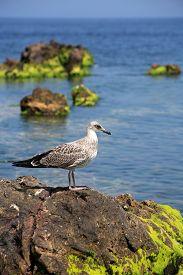 picture of algae  - Grey gull on the stone with green algae against blue sky - JPG