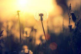pic of dandelion seed  - Dandelion field over sunset background - JPG
