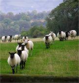 Tellen schapen
