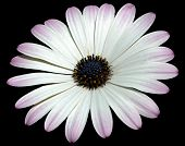 Osteospermum Jucundum African Or Veldt Daisy