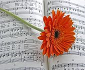 Orange Gerbera Daisy On The Sheet Music Daisy Bell
