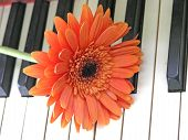 Orange Gerbera (Barbeton Daisy) On A Piano Keyboard