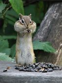 Chipmunk stuffs the cheeks