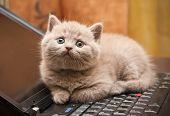 Kitten On A Laptop